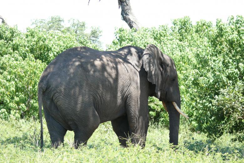 Elefant im Chobe Nationalpark - Botswana