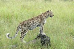 Leopardin - jao camp - Okawango Delta - Botswana
