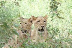Junge Löwen Katzen in der Nähe der Chobe Chilwero Lodge - Botswana