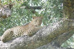 Leopard - Chitabe Camp - Okavango Delta - Botswana