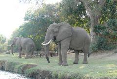 Dicke Besucher - Chiawa Camp - Lower Zambezi - Sambia