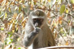 Grüne Meerkatze - River Club - Zambia