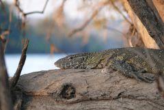 Nilvaran - Zambezi - Zambia