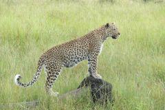 Leopardin jao camp botswana2008