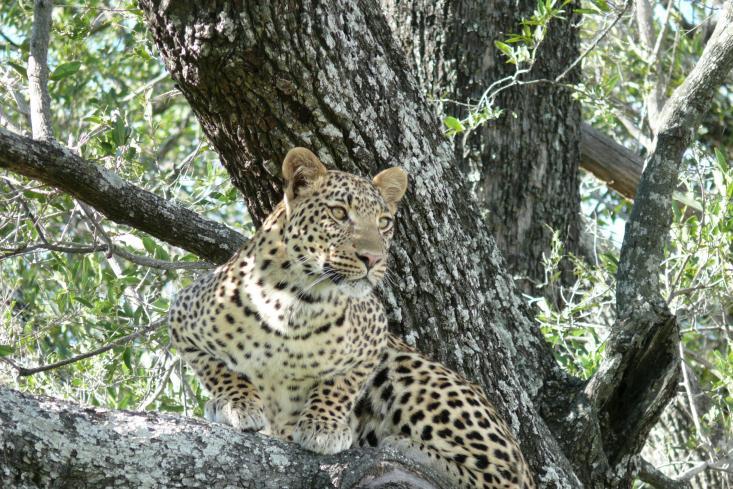 Leopard - Chitabe Camp - Okawango Delta - Botswana