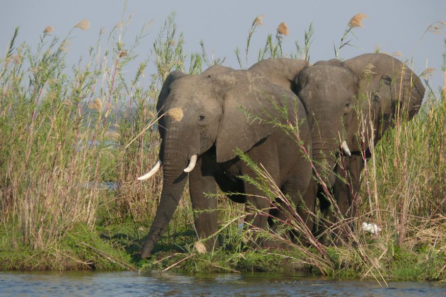 Elefanten - Lower Zambezi - Zambia