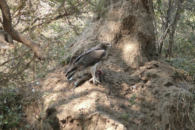 Kampfadler mit Beute - Lower Zambezi - Zambia