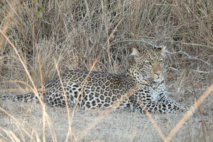 Leopard - Southern Luangwa - Zambia