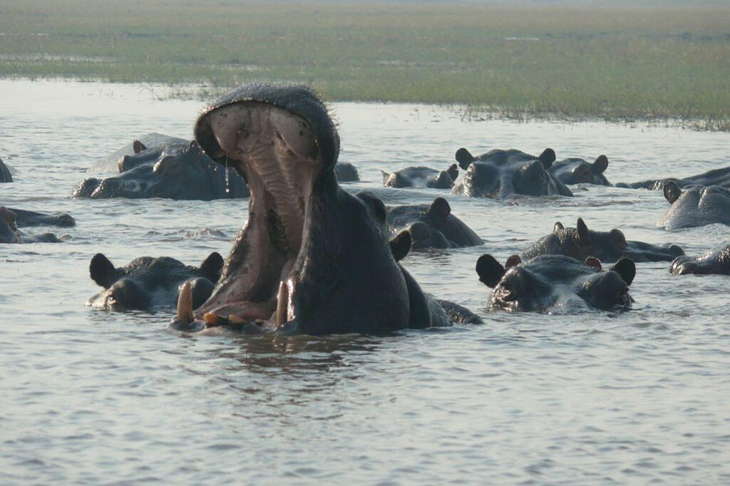 Flusspferde - Busanga Plains - Kafue Nationalpark - Zambia
