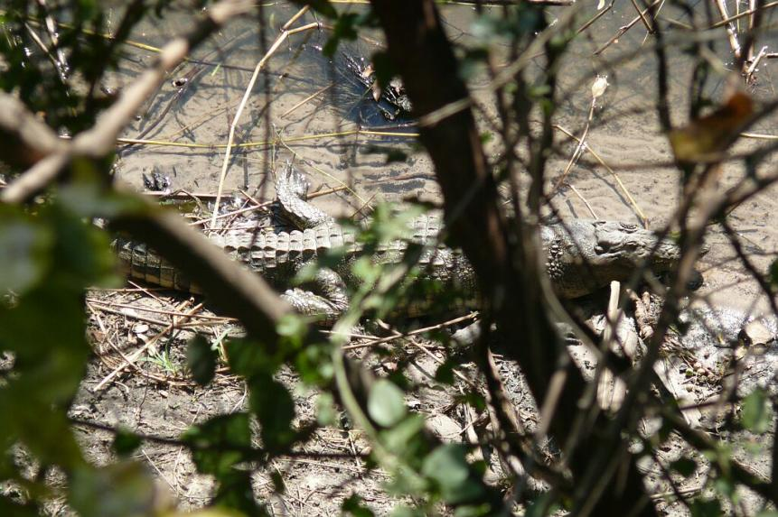 Krokodil vom Bad aus geschossen - River Club - Zambezi - Zambia