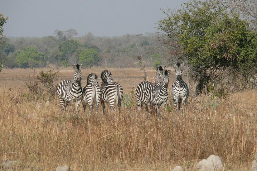Zebras - Lufupa - Kafue - Zambia