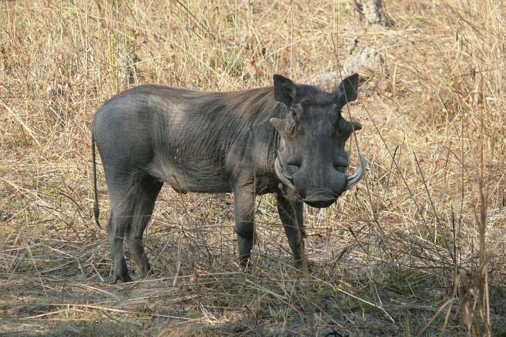 Warzenschwein (einer der ugly five) - Lufupa - Kafue - Zambia