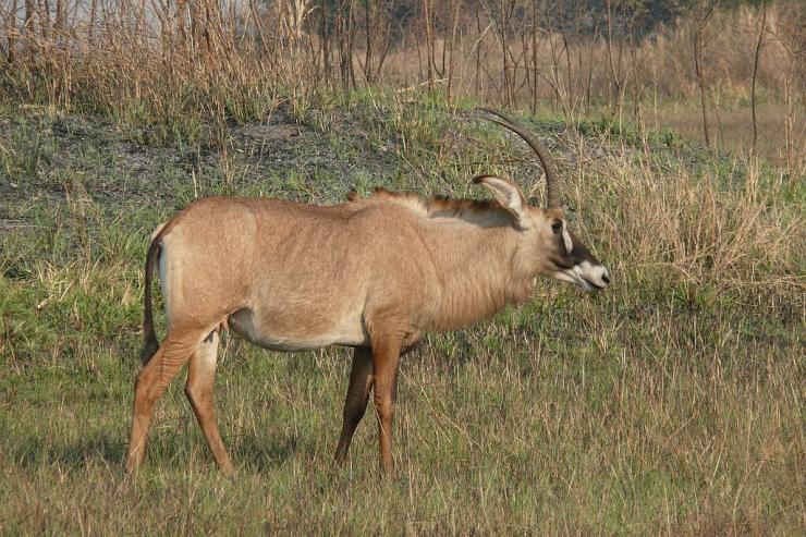 Pferdeantilope (Roan) - Busanga Plains - Kafue Nationalpark - Zambia