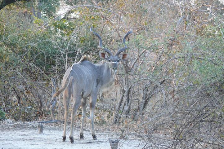 Kudu Antilope - South Luangwa - Zambia