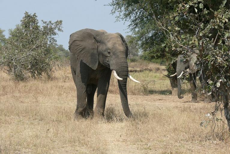 Halbstarker Elefantenbulle in Bachelorgruppe unterwegs - Nsefu Sektor - Southern Luangwa - Zambia