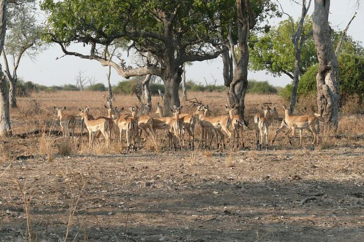 Impalas (auch Mac Donalds genannt, da fast food für die Jäger) - Nsefu Sektor - South Luangwa - Zambia