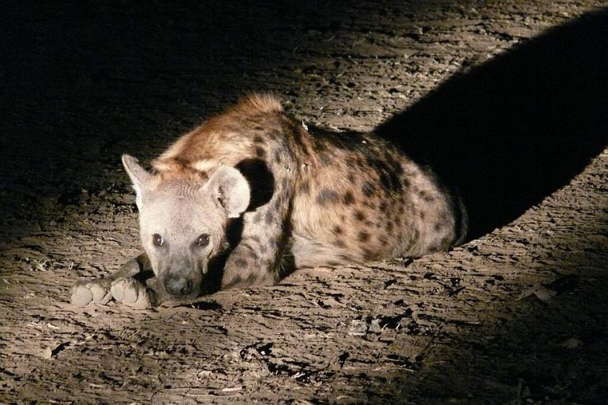 Tüpfelhyäne bei Nachtsafari - Nsefu Sektor - South Luangwa - Zambia