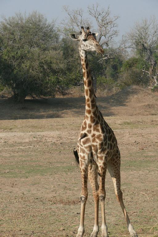 Giraffe mit Madenhackern - Nsefusektor - South Luangwa - Zambia