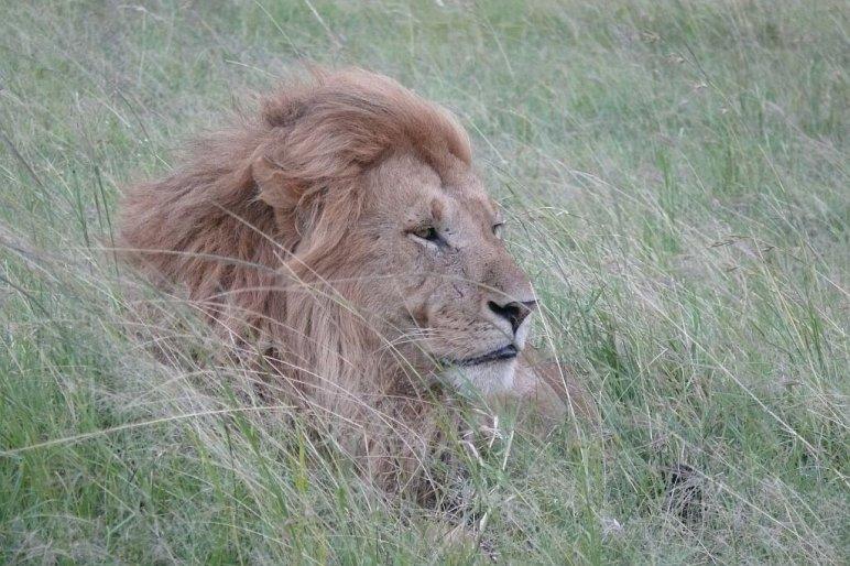 Löwe Massai Mara - Kenia