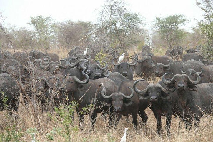 Bueffelherde - Meru Nationalpark - Kenia