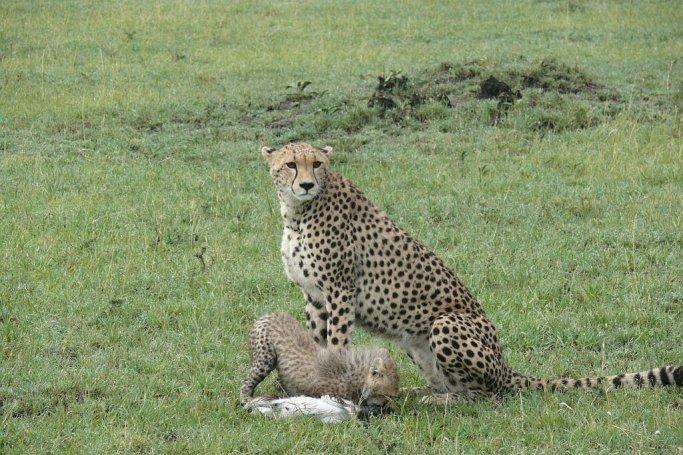 Geparden - Massai Mara - Kenia