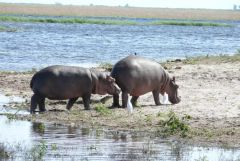 Flusspferde am Chobe River - Botswana