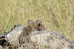 Zwergmungos in der Nähe des Chitabe Camps - Okawango Delta - Botswana