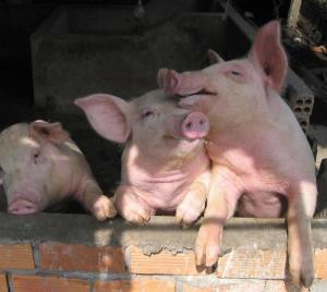 kleine-schweine.jpg