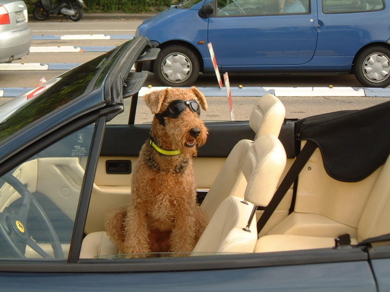 Der Hund fühlt sich auch im Ferrari Cabrio wohl.JPG
